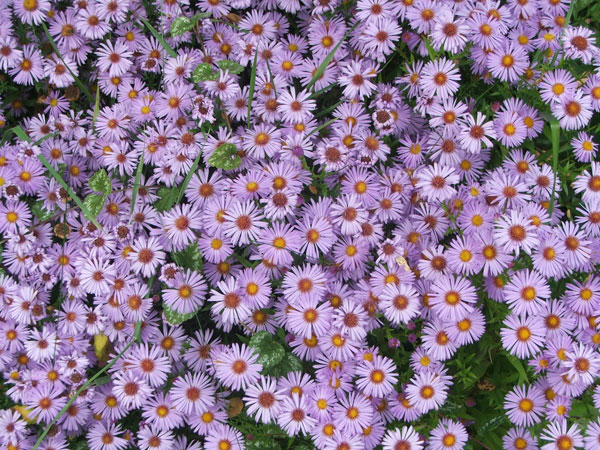 blue aster flowers, Beautiful flower