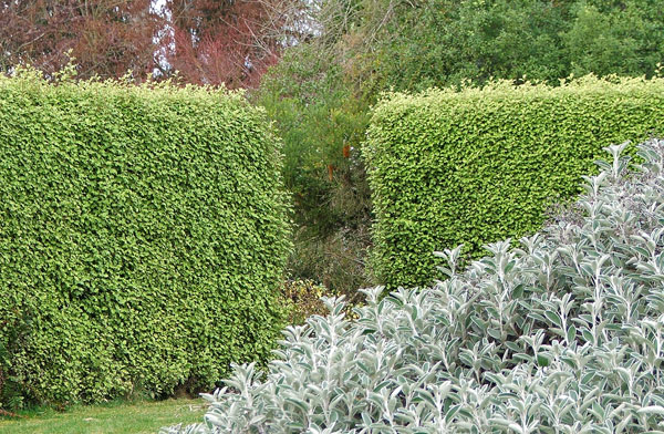 A beautiful green hedge.