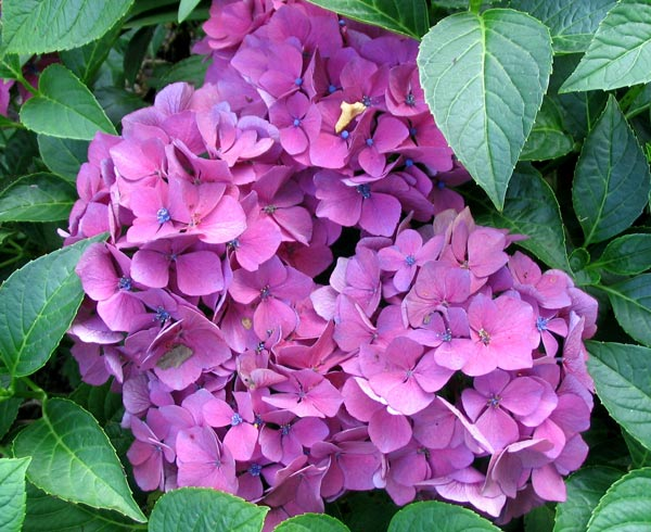 hydrangeas, Beautiful flower