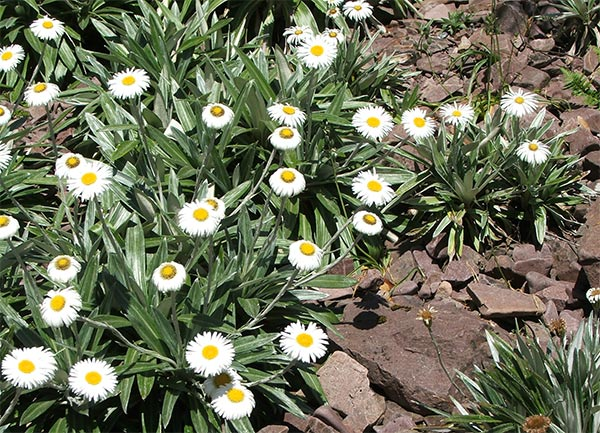 New Zealand flowers, perfect for a sunny rockery.