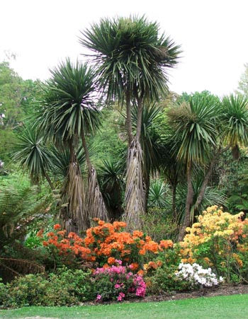 Cordylines which look magnificent behind all the colour.