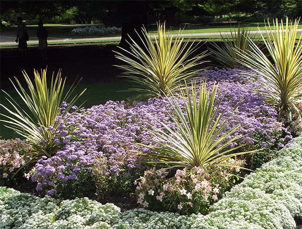 Stylish variegated Cordylines, with the more traditional bedding annuals.