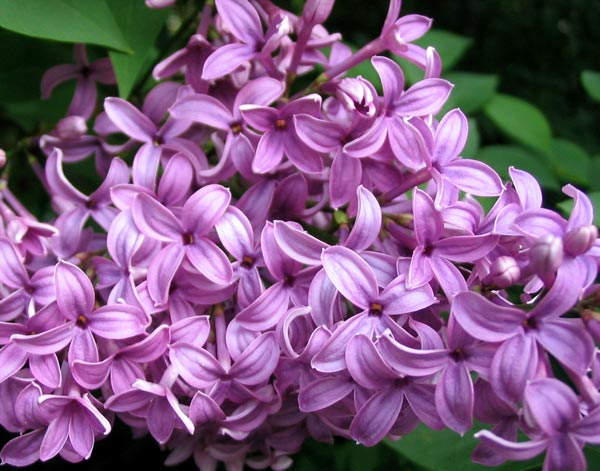I have no hybrid Lilac bushes in my garden.