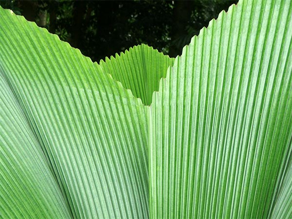 The huge leaves of the Umbrella Palm.