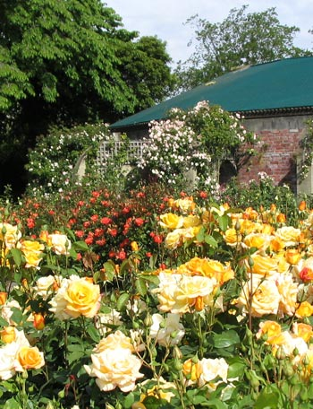 Another view of the Mona Vale Rose Gardens.