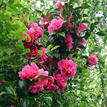 http://www.mooseyscountrygarden.com/camellias/pink-camellia-flower.jpg