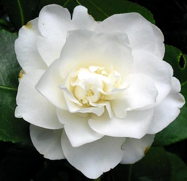 http://www.mooseyscountrygarden.com/camellias/pure-white-camellia.jpg