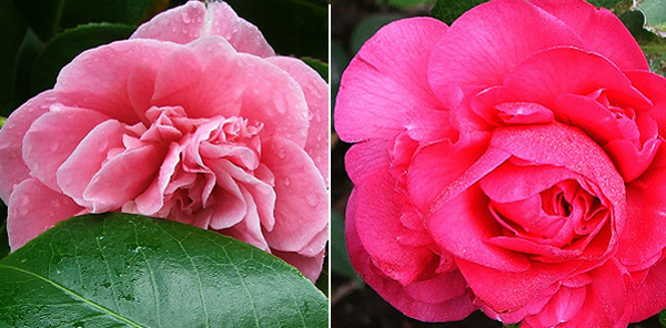 The one on the right is Ivor's Pink.
