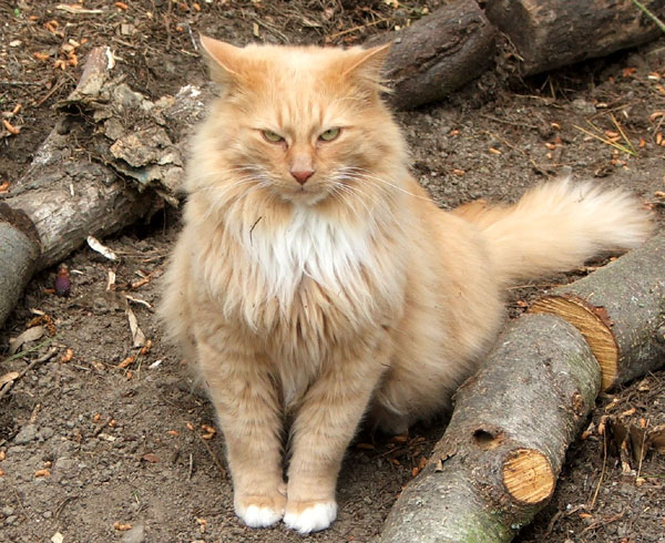 fluffy white and orange cats - photo #20