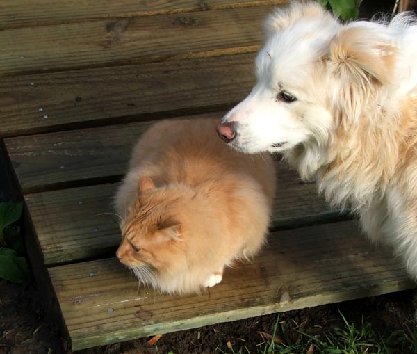 Fluff-Fluff with Rusty the red Border Collie.