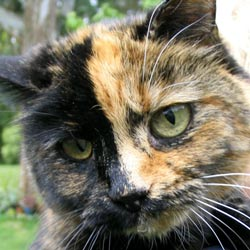 Mugsy is a disabled adult female cat.