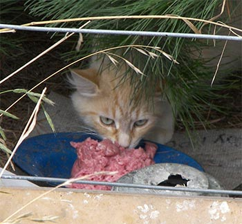 One of the mother cats in the colony.