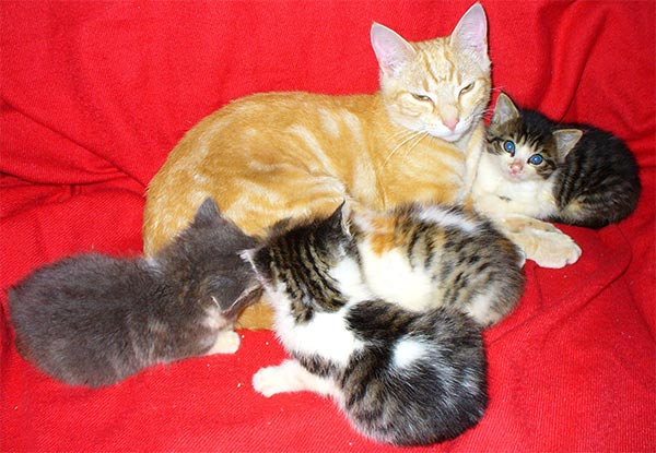Kittens Tommie and Tippee curl up with young adult boy-cat Mini-Mee.