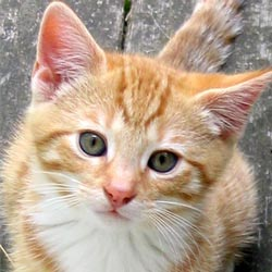 Smoocher is a striped ginger male kitten.