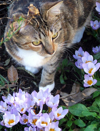 Cat, crocuses, and a bumble bee.