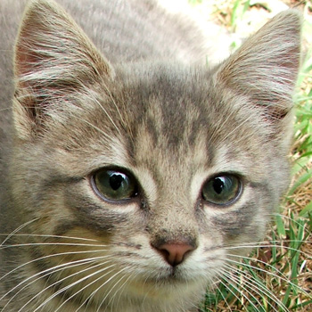 Minimus The Woodshed Kitten