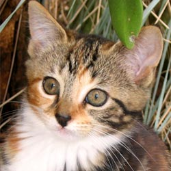 Tiger is a tabby female kitten.