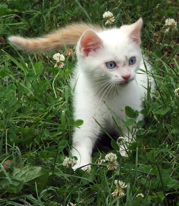 http://www.mooseyscountrygarden.com/cats-dogs/kitten-white-grass.jpg