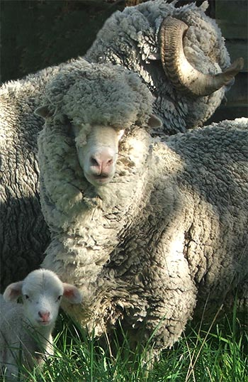 A woolly family posing for their portrait.