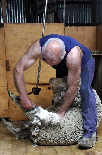 The sheep are machine-sheared.