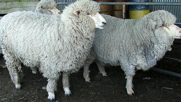 Fred is on the left, George is the dozy looking merino on the right.