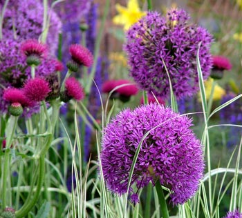 Ornamental onions were one of the many bold colours used in this 2004 show garden.