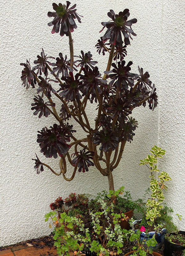 This shows how big Aeoniums can get.