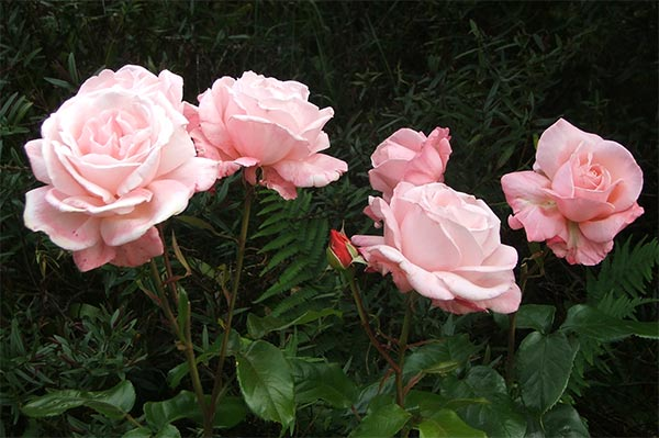 Roses In Garden: Dog-Path Garden Roses