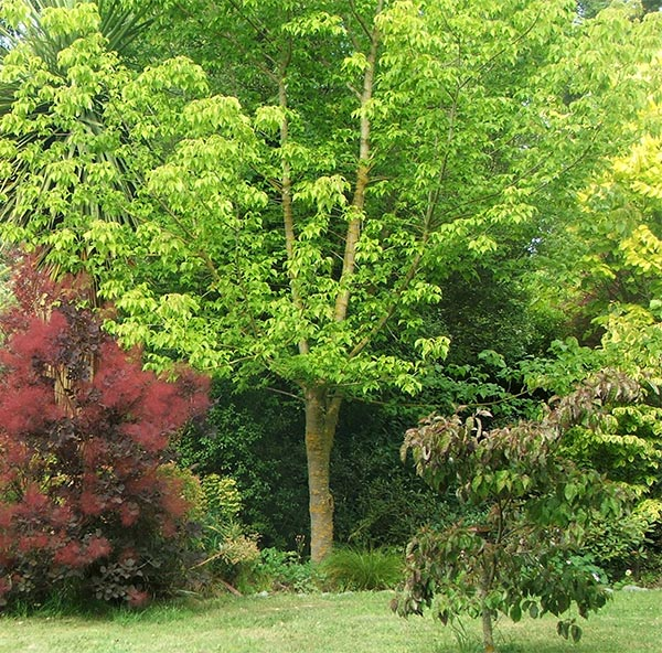 Trees in the dog path garden for Garden law trees