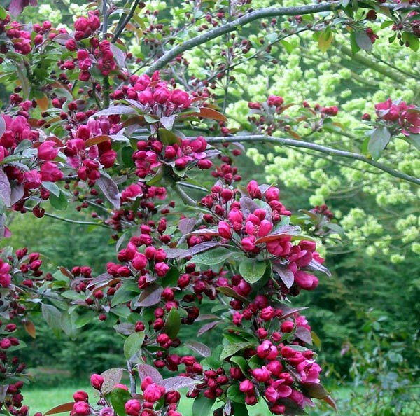 Flowering crab apple tree for Crabapple tree