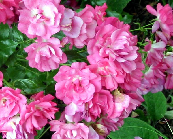Flower carpet roses bred by noack of germany bright pink flower carpet rose mightylinksfo