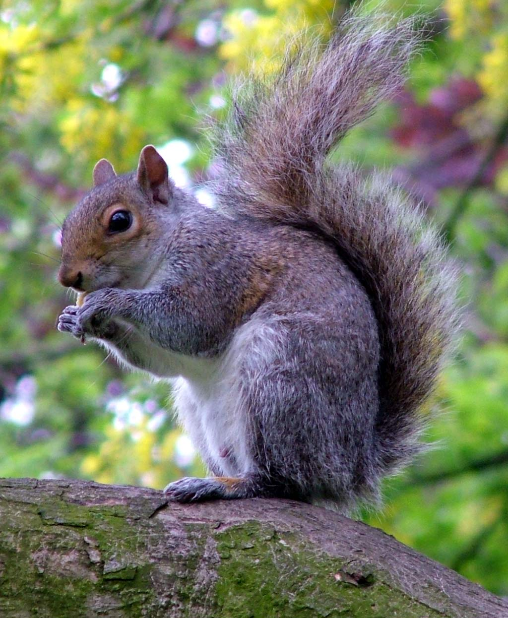 http://www.mooseyscountrygarden.com/english-gardens/grey-squirrel-eating.jpg