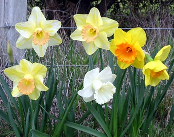 Daffodil Flowers on Bulbs Daffodils   Informed Is Forearmed