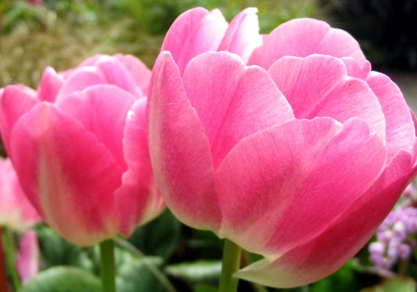 Different Type Of Tulip Flowers