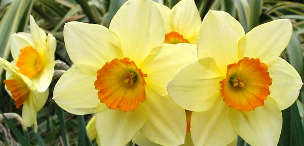 daffodils with orange centres
