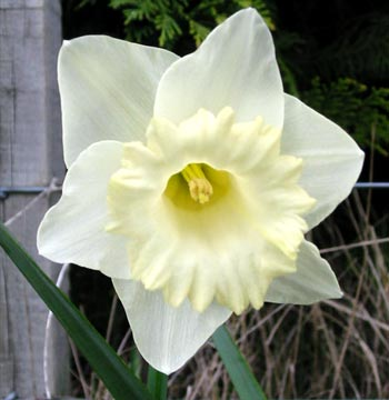 Daffodil Flowers on Think That All White Daffodils Are The Height Of Spring Style
