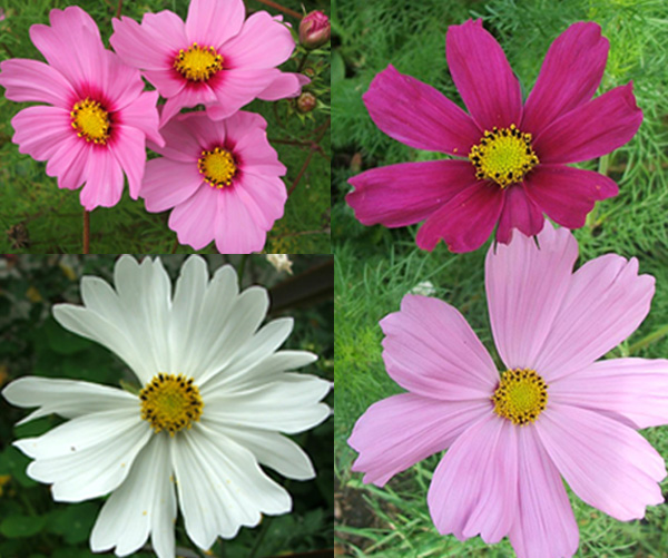 These are the main colours which grow in my garden.