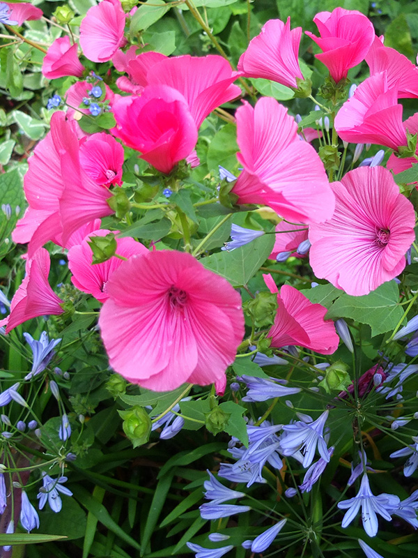 Annual lavatera the seed is also very easy to collect and i scatter it around places where id like to see some bright pink these annuals are tall plants but have strong mightylinksfo
