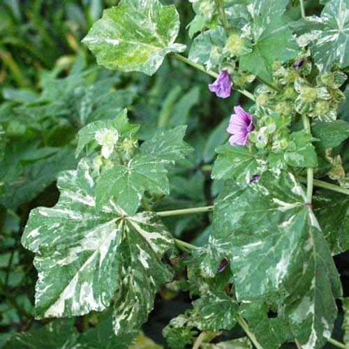 Variegated Mallow