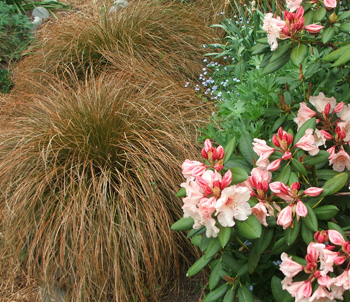 Grasses look beautiful with flowering shrubs.