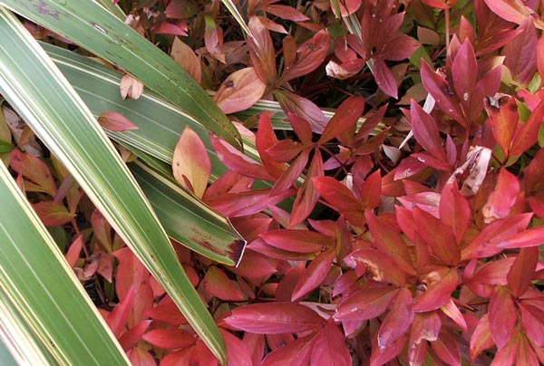 The peony leaves have beautiful colours in the autumn.