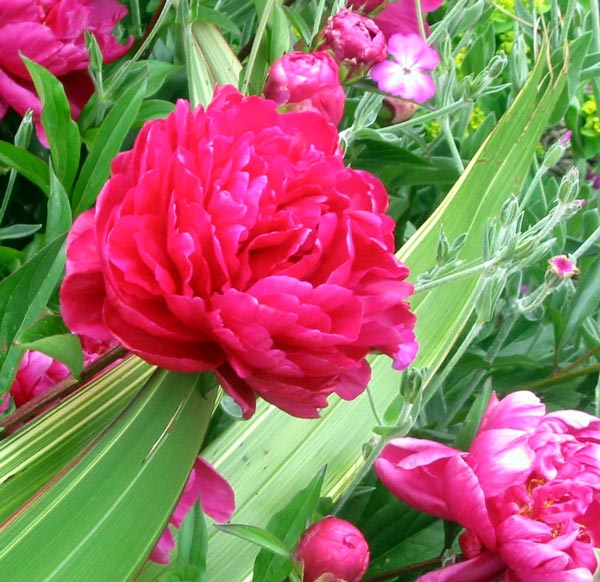 Flower Picture Peony