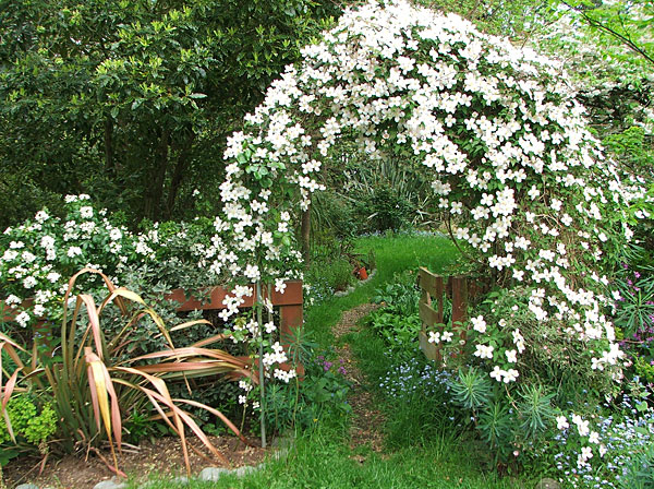 The Clematis has claimed the archway for itself.