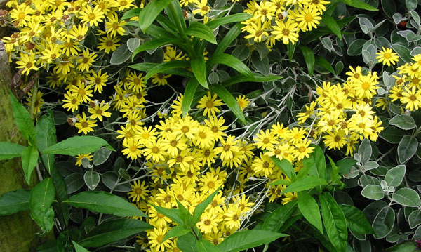  Yellow daisy shrub - a native New Zealand plant. 