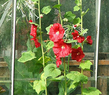Growing behind the glass-house.