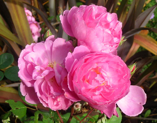 I think this is the David Austin rose John Clare.