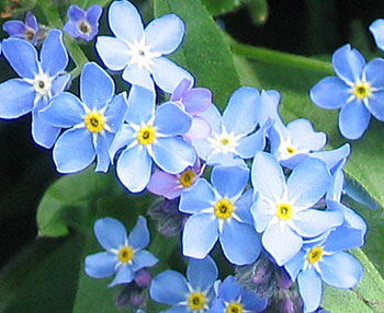 Little blue flowers.