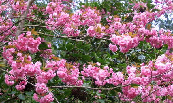 Lovely fat pink blossom flowers.
