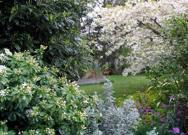 Choisya on the left and the Japanese Flowering Cherry to the right.