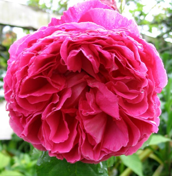 A David Austin rose, companion to Sir Benjamin Britten.